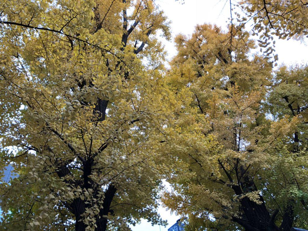 紅葉している銀杏の木