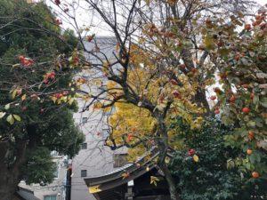鳥越神社の柿の木